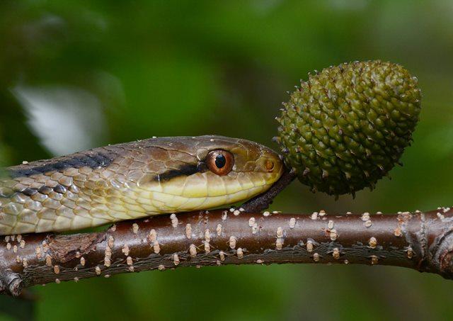 シマヘビ_1