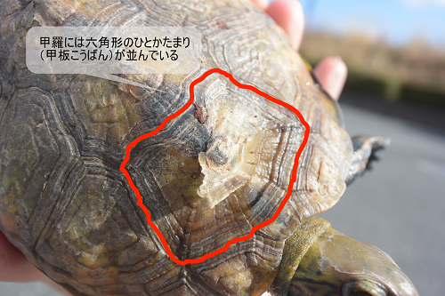 甲羅にある六角形のひとかたまり(甲板)がどの部分か図説