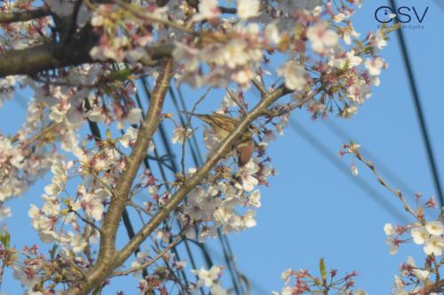 桜の花を食べようとしているスズメ_20200407_野田公園