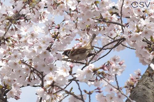 桜の木に止まっているスズメ