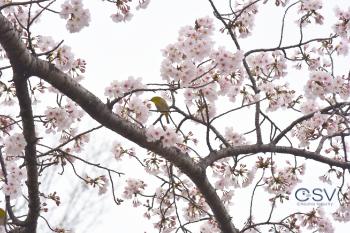 桜の木に集まったメジロたち