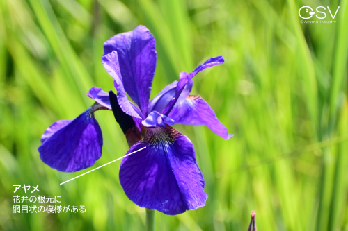 紫のアヤメとその見分け方