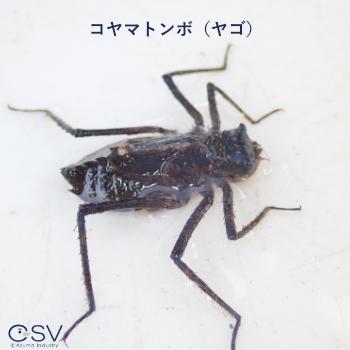 コヤマトンボ(ヤゴ)