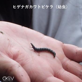 ヒゲナガカワトビケラ(幼虫)