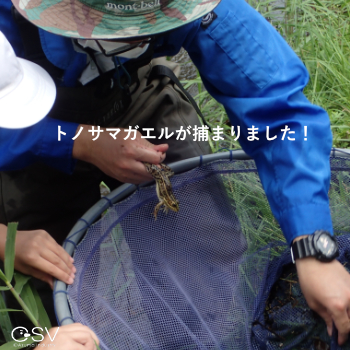 網の中身をのぞいてみるとトノサマガエルがいました!