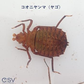 コオニヤンマ(ヤゴ)
