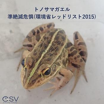 トノサマガエル(カエル)